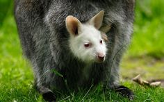 An albino  Bennett's wallaby joey peeks out of its mother's pouch in their enclosure at the zoo in Duisburg, Germany...