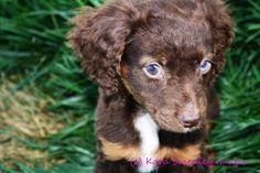 Pet Photography  Kara Smedley Images  www.karasmedley.com    Cocker Spaniel Mix Rescue Puppy.  Adopted!