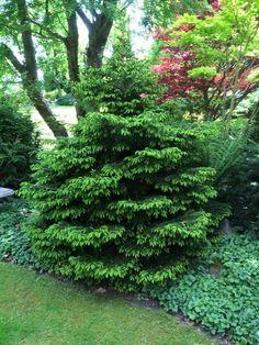 Picea orientalis 'Stovezand'