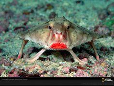 Batom vermelho | Rainha Vermelha - O peixinho simpático aí em cima tem um nome bem sugestivo, peixe morcego de batom rosa (rosy-lipped batfish – Ogcocephalus porrectus), e é encontrado na Costa Rica. A espécie mais próxima dele é o peixe de batom vermelho (red-lipped batfish – Ogcocephalus darwini), nativo de Galápagos, como se percebe pelo nome.