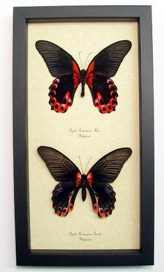 Papilio rumanzovia The Scarlet Mormon from Thailand Beautiful Archival Conservation Insect Display