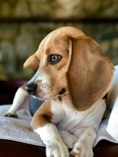 Beagles, Dogs, Animals, Animales, Animaux, Beagle, Animal Memes, Animal, Pet Dogs