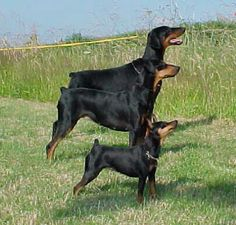 """In this photo you have the Doberman Pinscher (the largest one), the German Pinscher (the medium one) and the Miniature Pinscher (the little one). Although they all look alike except for size...they are not alike. Pinscher is German for """"biter""""."""