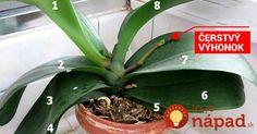 Orchidea - obľúbený kvet mnohých žien v domácnosti. Niektoré ženy sú v jej pestovaní skutoční majstri a dokážu zariadiť, aby im orchidea kvitla tak často, ako sa dá. Niekto kupuje účinné hnojivo, niekto iný podrobí