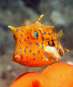 thornback cowfish - Lactoria fornasini ©Dave Harasti - also known as shortspined cowfish, They are found in coral reefs in the Indian and Pacific Oceans.
