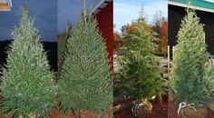 Eastern Hemlock, Norway Spruce, Deodar Cedar and  Carolina Sapphire Cypress living Christmas trees at the Kinsey Family Farm