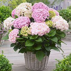 Hydrangea Macrophylla, Hortensia Hydrangea, Hydrangea Flower, Flower Pots, Home Garden Plants, Garden Soil, Container Plants, Container Gardening, Cut Flowers