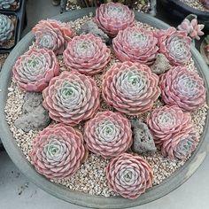 Echeveria Onslow from K Cactus & Succulent Succulent Landscaping, Succulent Gardening, Succulent Terrarium, Garden Pots, Container Gardening, Dish Garden, Indoor Gardening, Terrariums, Growing Succulents