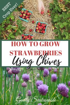 Who doesn't love fresh strawberries?  Want a bigger and better crop?  Using companion planting is the key!  Check out my tips and tricks! #strawberries