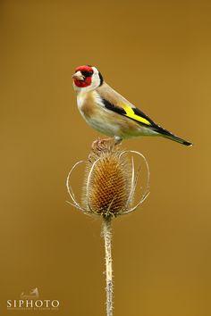 Goldfinch by Simon Roy / 500px