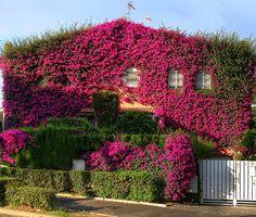Бугенвиллия для украшения дома