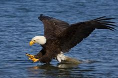 Photo of Alaska bald eagle fishing, linking to Alaska Activity Pictures, USA bugbog.com