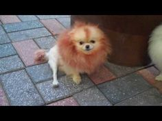▶ little lion dog in korea - YouTube