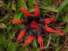 Aseroe rubra (starfish fungi) ~ Photo by Steve Axford