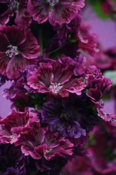 blooming-inspiration - flowersgardenlove: Hollyhock Beautiful gorgeous...