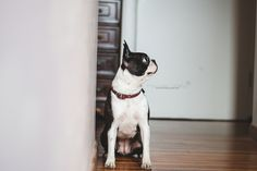 Chicca - Boston terrier