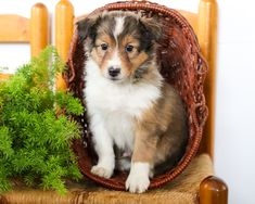 ❄️💜⛄These #adorable and #sweet #ShetlandSheepdog pups will be sure to add a sparkle to your life. Their soft fur makes them the #perfectsnugglebuddies and they will enjoy every moment of you loving them. #Charming #PinterestPuppies #PuppiesOfPinterest #Puppy #Puppies #Pups #Pup #Funloving #Sweet #PuppyLove #Cute #Cuddly #Adorable #ForTheLoveOfADog #MansBestFriend #Animals #Dog #Pet #Pets #ChildrenFriendly #PuppyandChildren #ChildandPuppy #LancasterPuppies www.LancasterPuppies.com Sheltie Puppies For Sale, Dogs And Puppies, Sheep Dog Puppy, Dog Cat, Shetland Sheepdog Puppies, Lancaster Puppies, Animals Dog, Rottweiler, Mans Best Friend