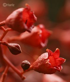 The red flowers of the Flame Tree or Illawarra Flame Tree (Brachychiton acerifolius)