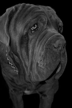 Neapolitan mastiff. Mastiff dog art portraits, photographs, information and just plain fun. Also see how artist Kline draws his dog art from only words at drawDOGS.com #drawDOGS http://drawdogs.com/product/dog-art/mastiff-dog-portrait-by-stephen-kline/ He also can add your dog's name into the lithograph.