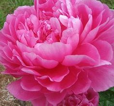 love fragrant flowers in my garden - and I have tons of peonies Peonies For Sale, Peony Flower Arrangements, Peonies Garden, English Roses, Pink Peonies, Botanical Art, Garden Plants, Pretty In Pink, Beautiful Flowers