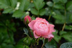 Uutta Bailandon kukkaa | Vesan viherpiperryskuvat – puutarha kukkii