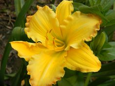 Daylily (eat ONLY organically grown day lilies)