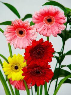 Flores  grandes | flores de gerbera Gerberas, las grandes margaritas