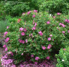 Rosa rugosa (rose hips)- plant as hearty barrier between rod and house, harvest rose hips for nutritious tea Hydrangea Macrophylla, Fragrant Roses, Shrub Roses, Endless Summer Hydrangea, Sloped Garden, Rose Bush, Growing Vegetables, Botanical Gardens, Sodas