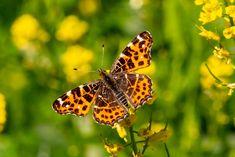 Landkärtchen auf Barbarakraut, Wald, Tiere, aufgenommen im Mai, Pflanzen, Schmetterlinge, Falter
