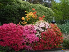 rhododendrons - Google Search