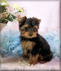toy yorkie - Google Search