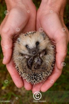 European hedgehog (Erinaceus europaeus) hand reared orphan held in human hands, Owl, Bird, Cute, Animals, Google, Outdoor, Animales, Outdoors, Animaux