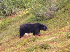 American Black Bear | American Black Bear