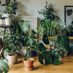 Green Plants Trendy Indoor Plants To Purify The Air Green Plants, Potted Plants, Indoor Plants, Ficus Elastica, Decoration Plante, Plants Are Friends, Office Plants, Plantation, Green Life