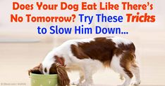 FAST EATERS CAN DEVELOP BLOAT..AN EMERGENCY SITUATION YOU NEVER WANT TO HAVE HAPPEN!   There are a number of ways to slow the speed at which your dog eats, including the use of puzzle feeder and treat-release toys and slow-feeder bowls. http://healthypets.mercola.com/sites/healthypets/archive/2016/02/08/slowing-down-dogs-when-eating.aspx