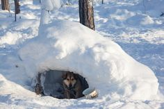 at a selkup hunter's winter camp in the forest, a laika dog has an 'igloo' for shelter | ratta, krasnoselkup, yamal, western siberia, russia. (2012 | foto: bryan & cherry alexander