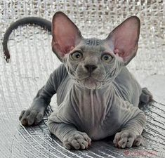 I love Sphynx cats so much ^w^ I wish I could own one but I've heard that they are difficult to care for : Animals And Pets, Baby Animals, Funny Animals, Cute Animals, Animals Images, Pretty Cats, Beautiful Cats, Animals Beautiful, Pretty Kitty