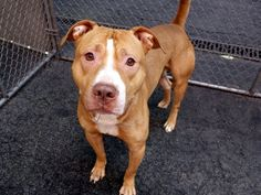 """TORTAS- SUPER URGENT! CERTAIN DEATH TONIGHT TO BE DESTROYED 8/1/15! He needs a """"RESCUE"""" to save his life, or he has no HOPE for surviving in this shelter! Please someone find a rescue that can save TORTAS life, doesn't he deserve that? They r going to murder him tonight, so they have more space!! CHOOSE LIFE, NOT MURDER FOR TORTAS!!!!"""
