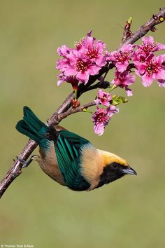 Saíra-amarela / Burnished-buff Tanager (Tangara cayana) by Thomaz Tozzi B.Raso on 500px