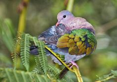 Emerald Dove Chalcophaps indica - Chalcophaps indica