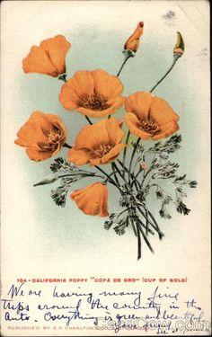 California Poppy Copa de Oro (Cup of Gold) Flowers