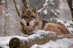 Wolf Huddled Behind a Log.