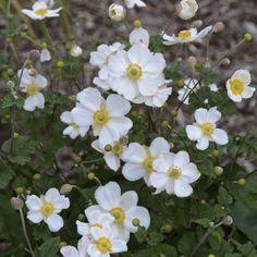 Walters Gardens Variety: Anemone 'Honorine Jobert'