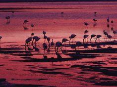 Flamingoes Feeding, Laguna Colorada at Sunset, Reserva Nacional Eduardo Avaroa, Los Lipez, Bolivia