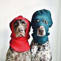 Travis e Gus sono due cuccioli di Pointer. Dopo essere stati adottati e fotografati su  Instagram  dalla loro padrona, Stephanie McCombie, hanno ottenuto un successo inaspettato. Ora, con l'inizio dell'anno, sono protagonisti anche di un  calendario  dove, promettono, faranno divertire i loro fan pe