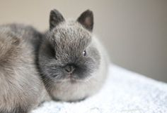 Baby Netherland Dwarf rabbit (Siamese Smoke Pearl coloring) from Bluebell Bunnies Rabbit Breeders in Hampshire, UK.