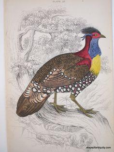 Tragopan-Hastingit--(The-Golden-breasted-Trogopan)-Pl.-25----Antique Animal Print Birds- Maps of Antiquity