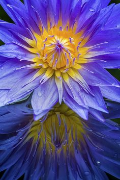Water Lily Sunrise
