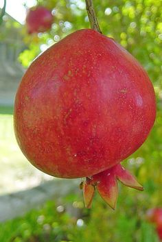 Pomegranates grow on trees.