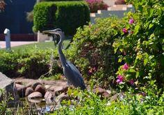 Egyptian heron